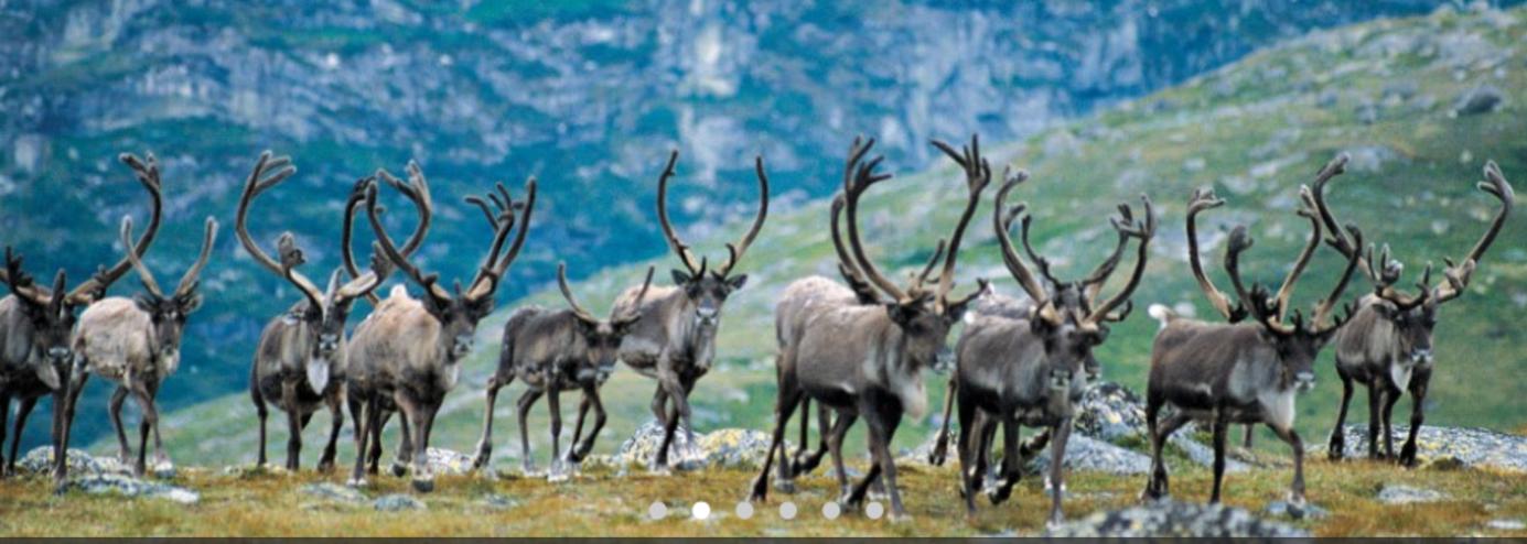 Et bilde som inneholder flokk, pattedyr, gress, utendørs  Automatisk generert beskrivelse