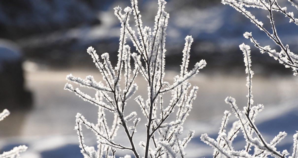 Et bilde som inneholder tre, utendørs, plante, gren Automatisk generert beskrivelse