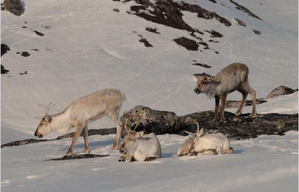 Et bilde som inneholder utendørs, snø, pattedyr, kveg Automatisk generert beskrivelse