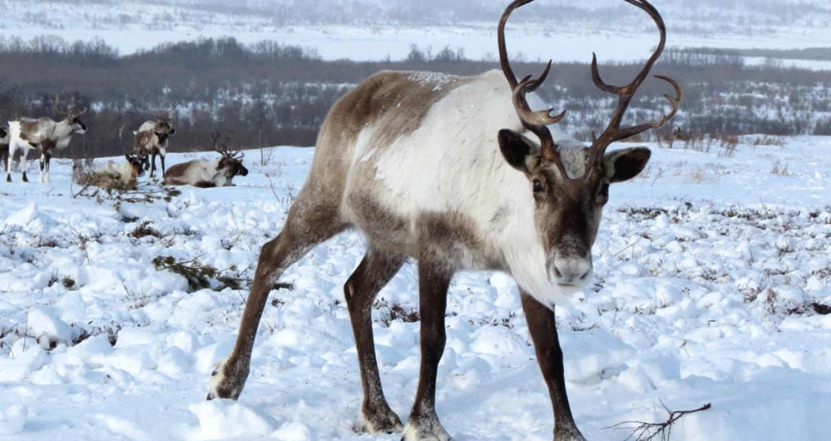 Et bilde som inneholder utendørs, snø, pattedyr, rådyr Automatisk generert beskrivelse