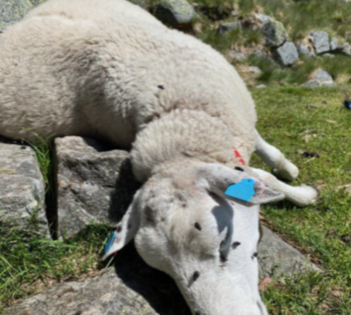 Et bilde som inneholder gress, utendørs, pattedyr, sauer Automatisk generert beskrivelse